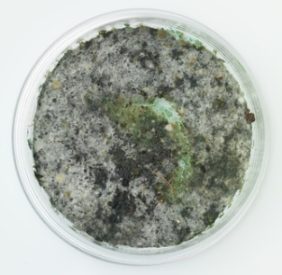 trichoderma mold